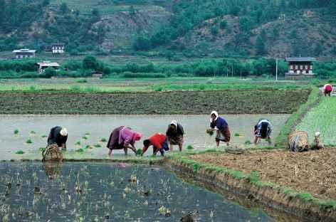 Repiquage du riz  - Bhoutan -