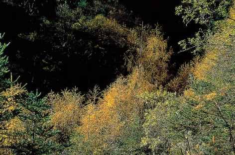 Belle forêt de pins au dessous de Laya - Bhoutan -