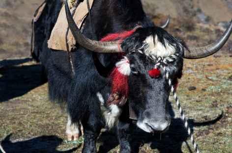Yak pomponné pour le festival de Laya - Bhoutan -
