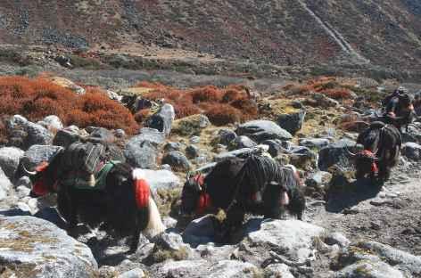 Caravane de yaks entre Lungu et la frontière tibétaine - Bhoutan -