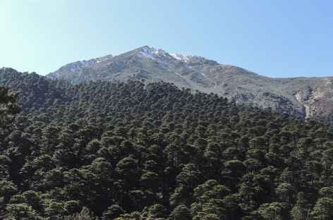 Forêt d'épicéas parasol  - Bhoutan -