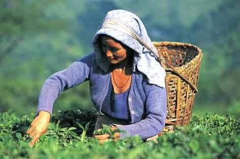 Cueilleuse de thé, Darjeeling -