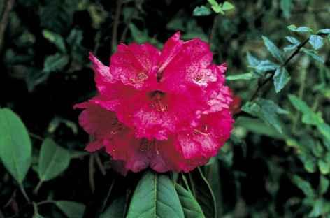 Fleur de rhododendron - Bhoutan -