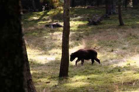 Takion dans la forêt près Jakepassa - Bhoutan -