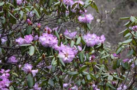 Petites fleurs en bordure de chemin - Bhoutan -