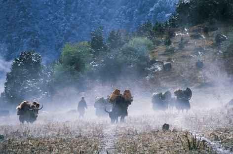 Arrivée de notre caravane de yaks à Woche - Bhoutan -