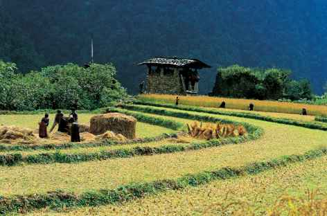 Moissons dans la vallée de Paro - Bhoutan -