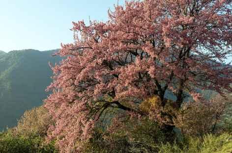 Cerisier sauvage sur la route de Mongar - Bhoutan -