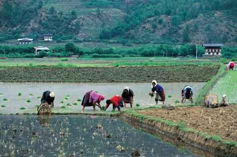 Travail dans les rizières - Bhoutan -
