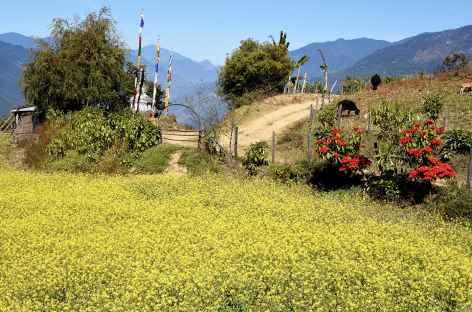 Champ de moutarde près de Mongar - Bhoutan -