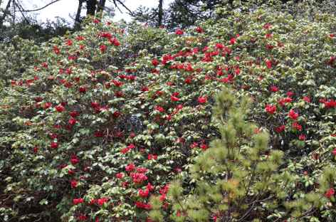 Rhododendrons Bhoutan  -