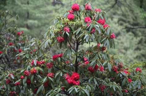 Rhododendrons en fleur - Bhoutan -