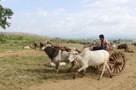 Char à buffles sur un marché - Birmanie -