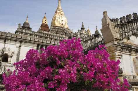 Magnifiques bougainvillers sous la pagode Ananda - Pagan -Birmanie -