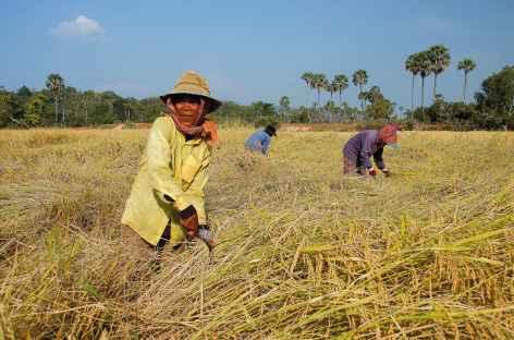 Récolte du riz - Cambodge -