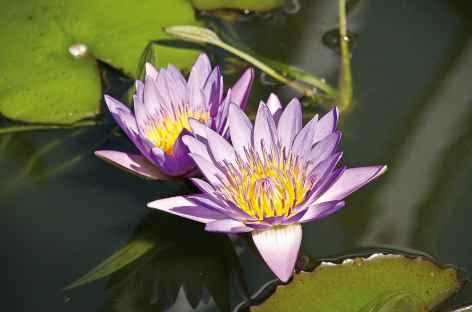 Fleur de lotus - Cambodge -
