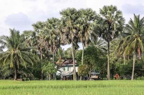 Palmiers à sucre et rizières, les 2 composantes du paysage cambodgien - Cambodge -