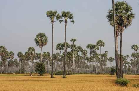 Palmiers à sucre et rizières - Cambodge -
