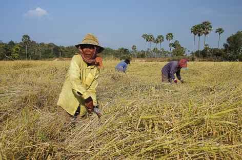 Moisson du riz dans les campagnes - Cambodge -