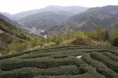 Collines de thé dans les Tulou - Chine -
