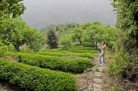 Balade dans les champs de thé -