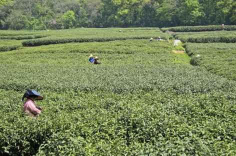 Cueillette du thé -