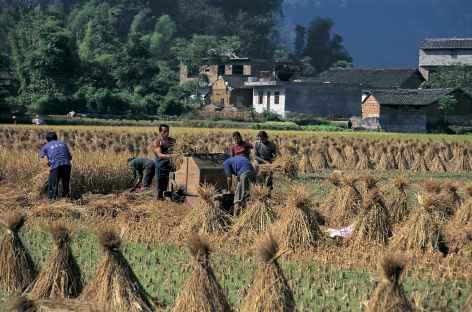 Travaux de récolte - Chine -