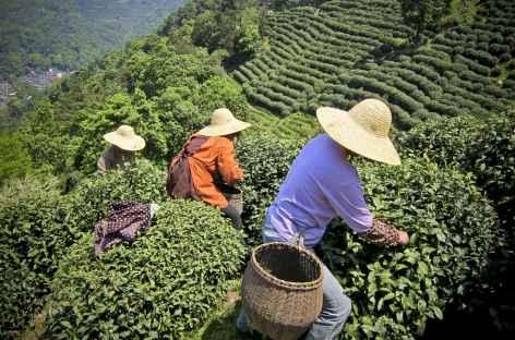 Cueillette du Thé - Chine -