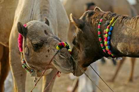 Scène du célèbre marché aux chameaux de Pushkar - Rajasthan -