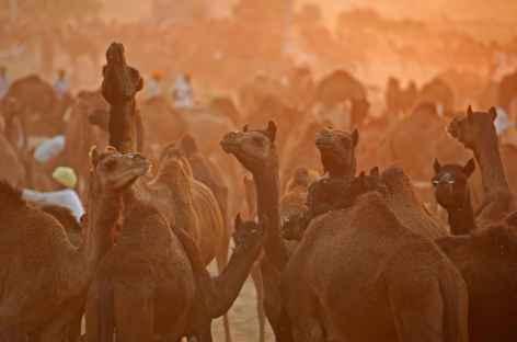 Lever du jour sur le marché aux chameaux de Pushkar- Rajasthan -