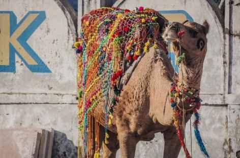 Chameau paré pour la foire de Pushkar - Rajasthan - Inde -