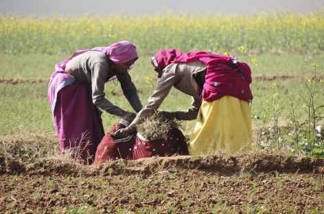 Travaux des champs - Rajasthan, Inde -