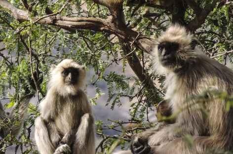 Singes Langur - Rajasthan, Inde -