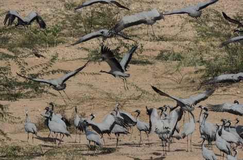 Grues dans le désert du Thar - Rajasthan, Inde -