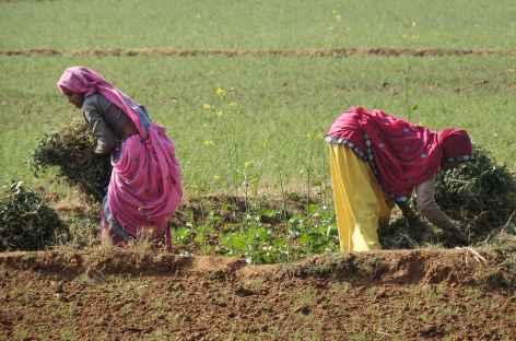Scène rurale, Rajasthan, Inde -