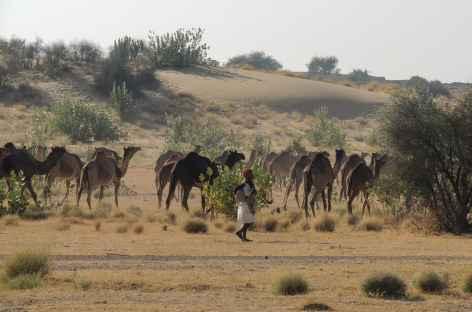 Chamelier et son troupeau, désert du Thar, Rajasthan, Inde -