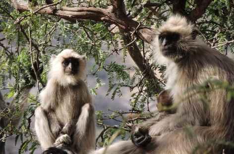 Singes Langur, Rajasthan, Inde -
