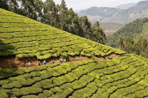Trek dans les plantations de thé de Munnar, Inde du Sud -