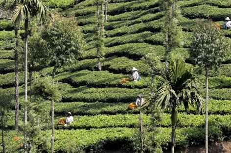 Cueillette du thé à Munnar, Kerala - Inde du Sud -