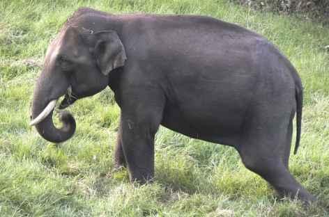 Eléphant sauvage en bord de route, Inde du Sud -