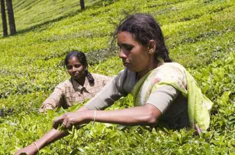 Récolte du thé, Kerala, Inde du sud -