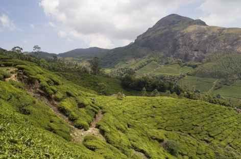 Montagnes et champs de thé, région de Munnar, Kerala, Inde du sud -