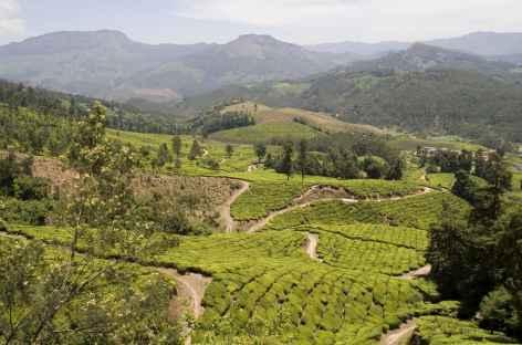Champs de thé, Kéral, Inde du sud -