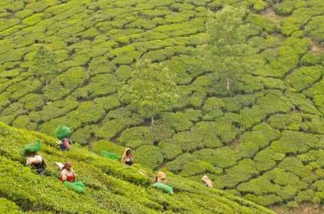 Culture du Thé, Inde du Sud -