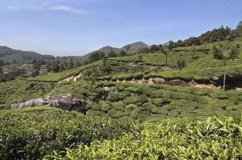 Dans les théiers de Munnar, Inde du Sud -