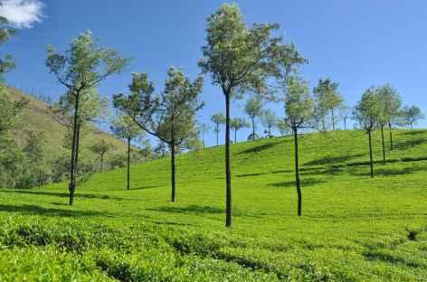Dans les champs de thé, Inde du Sud -