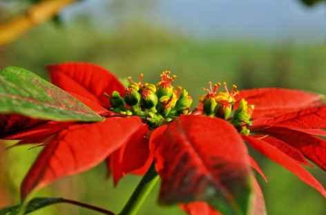 Fleur de Poinsettia, Inde du Sud -