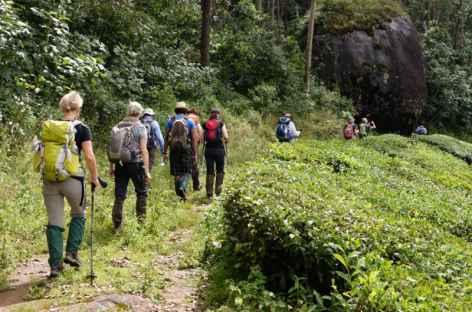 Balade dans les théhiers, Kerala, Inde -