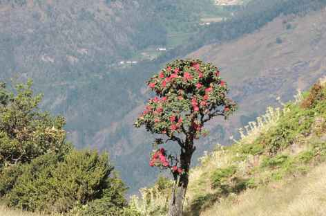 Rhododendrons vers 2000 m, Inde du Sud -