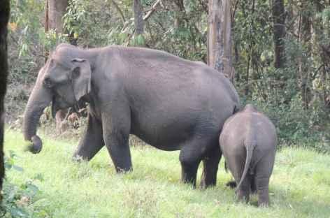 Eléphants sur le bord du sentier, Inde du Sud -